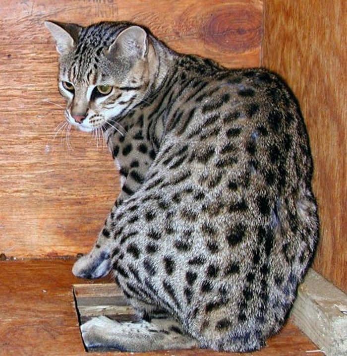 коты диких пород фото