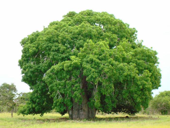 Цветет ли баобаб и есть ли у него плоды