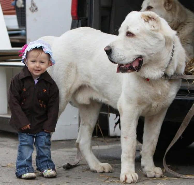 10 самых больших собак в мире с фото и видео