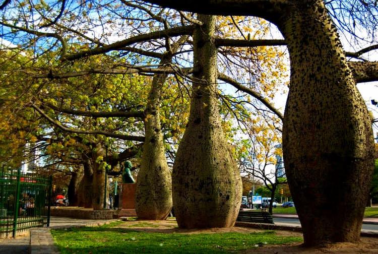 Тоборочи – дерево, которое вот-вот лопнет
