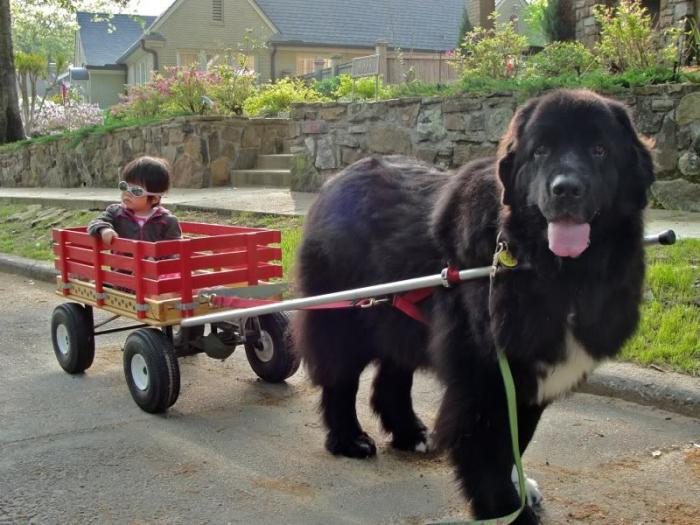 Топ 10 самых больших собак в мире