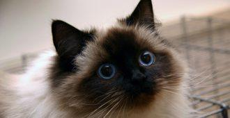 Ragdoll cat pbbef