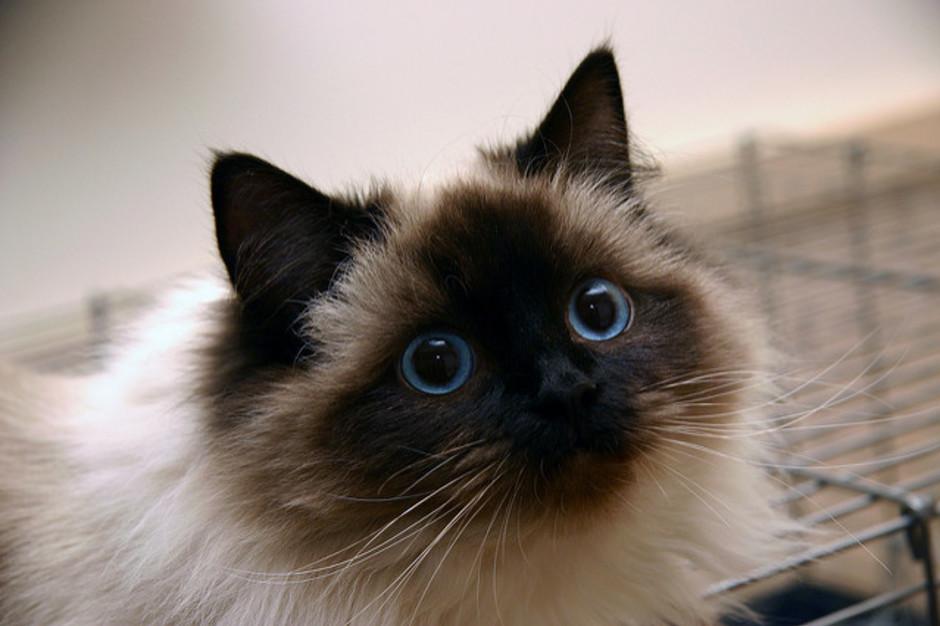Топ-5 самых лучших кошек для семьи