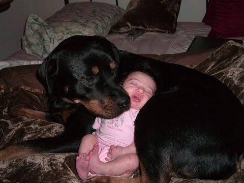 Идеальная собака-нянька для детей: ротвейлер