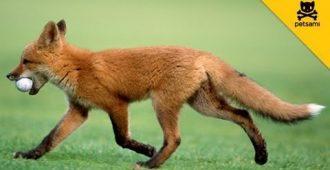 Лисица играет в мяч для гольфа - Секреты вдохновения