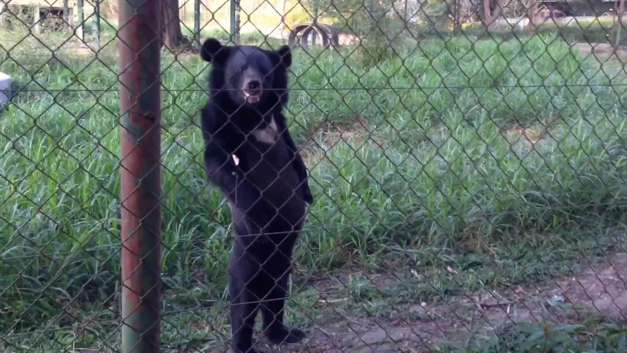 medved kotoryj stal avtoritetom