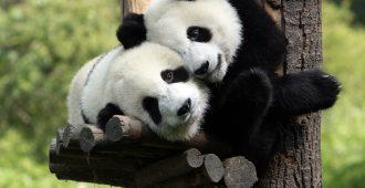 perecinfo panda
