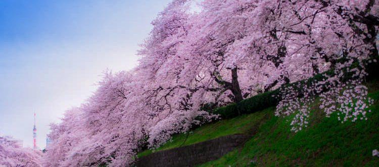 10 цветущих деревьев с разных стран с фото и названием