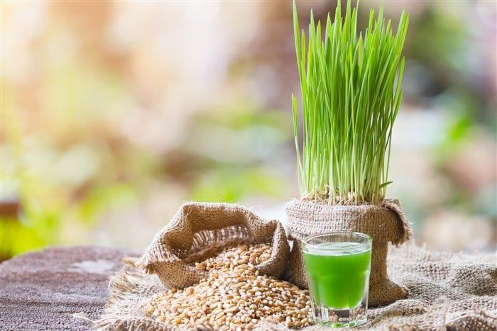 Чем полезна пророщенная пшеница: как прорастить и как применять