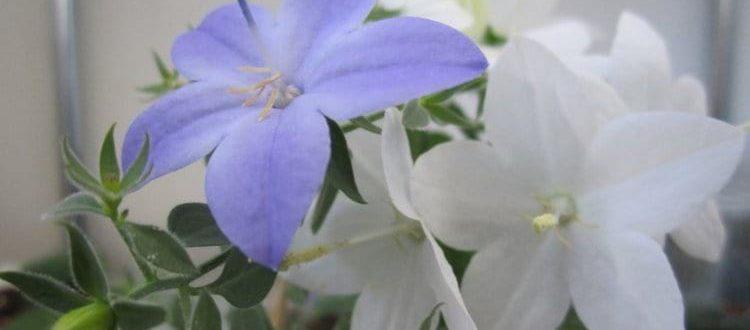 Комнатные цветы жених и невеста