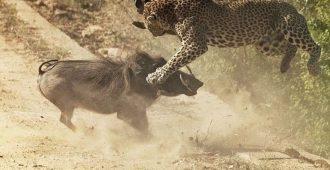 10 сумасшедших битв животных, которые удалось снять на камеру