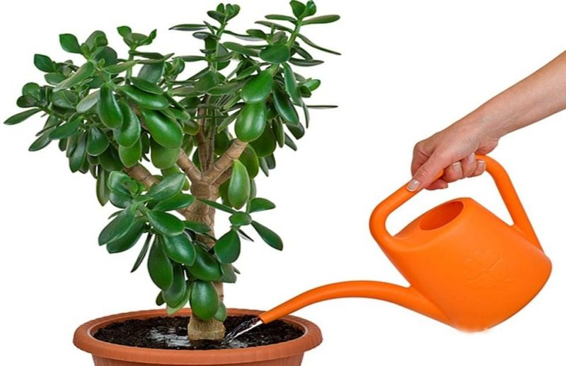 Домашнее денежное дерево для привлечения удачи и денег