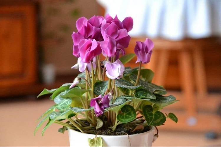 Цветок цикламен приметы и суеверия