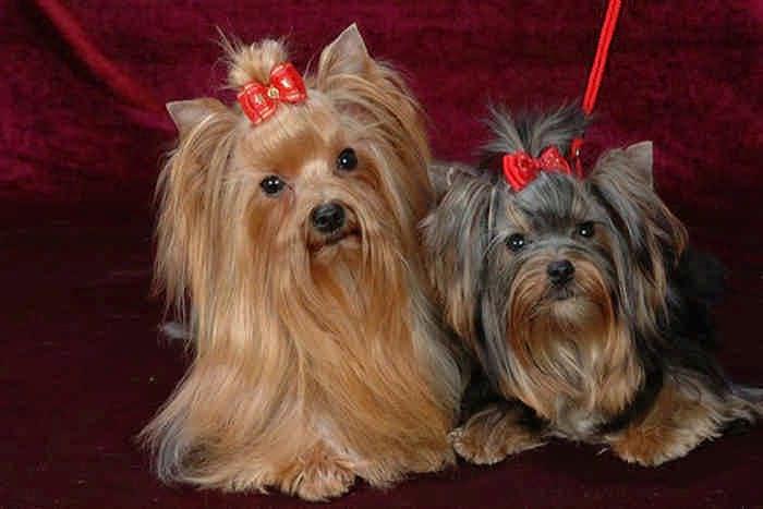 10 самых маленьких собак в мире