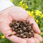 Что такое пчелиный подмор