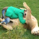 Обнимашки с когтями. Львы из Словакии ведут себя как домашние кошки - Секреты вдохновения