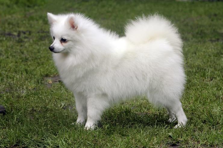 Топ-10 самых известных итальянских пород собак