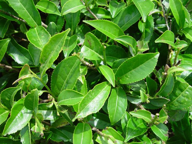 Как использовать масло чайного дерева для лечения в домашних условиях
