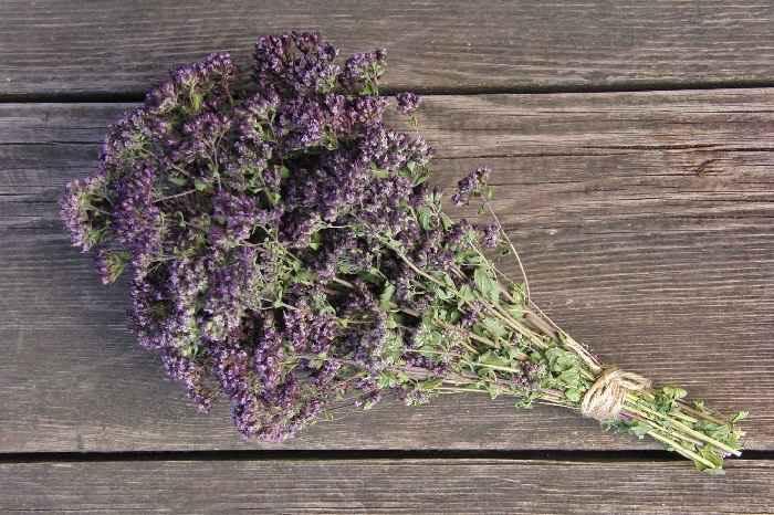 Лечебные свойства душицы и противопоказания к применению