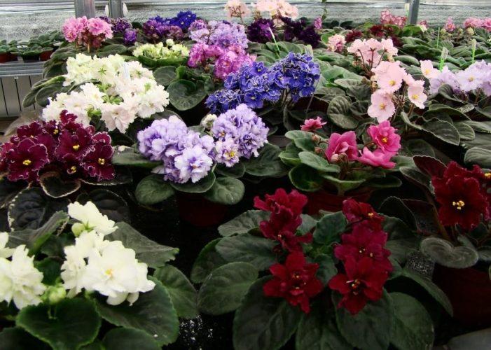 Домашние цветы на счастье - Разновидности фиалок