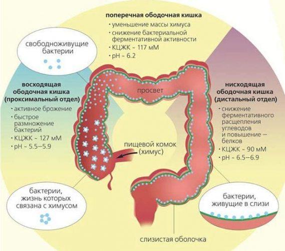 Пребиотики для нормализации микрофлоры кишечника