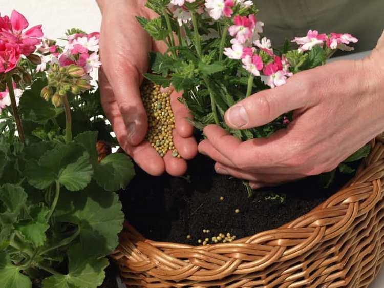Как ухаживать за геранью в домашних условиях - Удобрение герани