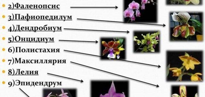 основные виды орхидей