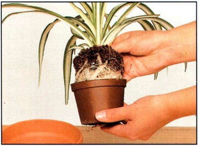 растения, переросшие горшок