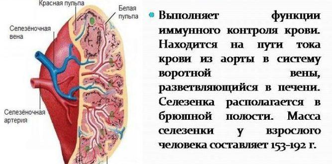 Функции селезенки