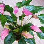 Приметы про цветок «женское счастье»