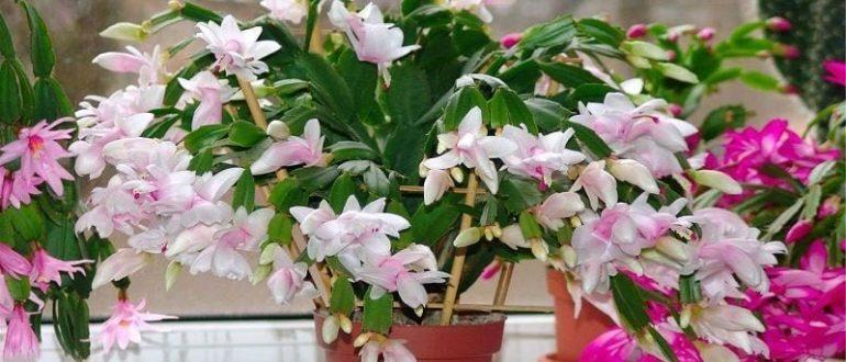 Цветок декабрист: размножение и уход в домашних условиях
