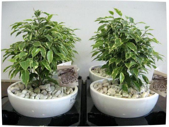 Лечебные комнатные растения - Фикус