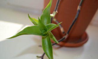 Растение золотой ус: свойства и уход в домашних условиях